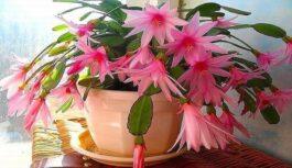 Maza viltība, ar kuras palīdzību puķes jūsu mājās ziedēs ilgi un bagātīgi!