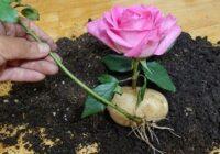Kā izaudzēt rozi kartupelī. Iedarbīga metode iespaidīga rožu krūma iegūšanai