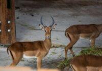 """Pēc mēneša Rīgas zoodārzā apmeklētājiem būs pieejama jaunā ekspozīcija """"Āfrikas savanna"""""""