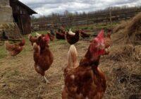 Putnu gripas draudi pieaug; PVD uzsāk pastiprinātas pārbaudes