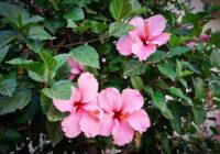 """""""Ļaunais"""" skaistums: ziedi, kuriem blakus nekas neaug. Tas ir jāzina ikvienam dārzkopim!"""