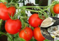 Kā piebarot tomātus, lai raža būtu bagātīga. Ja ievērosi šos padomus, augļi būs lieli un saldi