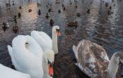 Vēl četriem savvaļas putniem Latvijā konstatēta augsti patogēnā putnu gripa
