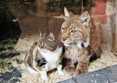Ar ko beidzās lūša un kaķa draudzība 12 gadu garumā. Šī gada 3.janvārī viena zvēra sirds beidza pukstēt