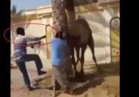 VIDEO: Tiek ziņots par neticamu gadījumu, kurā kamielis baisi atriebjas saimniekam; Šie dzīvnieki nav nemaz tik bezpalīdzīgi