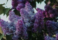 Ceriņu ziedēšanas laiks īsti svētki: bet vai drīkst vai nedrīkst tos lauzt? Šeit tev būs daudz jauna ko izlasīt
