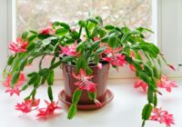 Katru gadu es ievēroju divus vienkāršus noteikumus – un Ziemassvētku kaktusi zied kā traki jau maijā