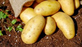 Nevajag dārgus piebarojumus, lai kartupeļi izaugtu gigantiski, bet vajag tikai – MAIZI